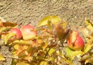 03.10.2013 Apfelbaum2