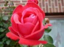 06.10.13 Rose