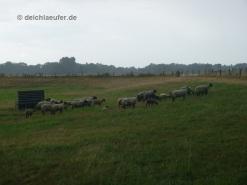 Die Schafe sind wieder da!