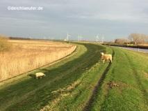 Zwei einsame Schafe auf weiter Flur. Vergessen? Ausgebüxt?