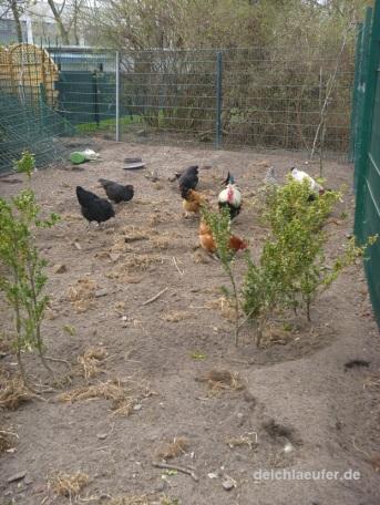 Hühner an der Strecke ...