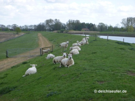 Guck mal, Catrina, weiße Schafe :-)