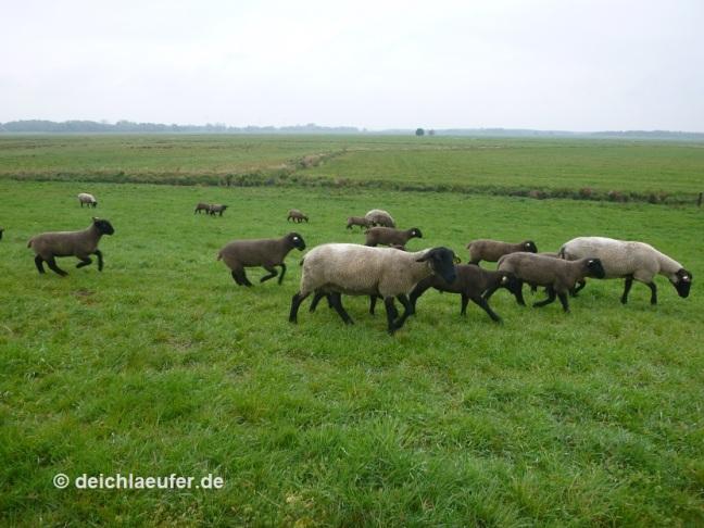 Die Schafe auch :-D